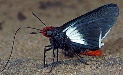 Pyrrhopygopsis socrates (hippobosca) Tags: butterfly hesperiidae peru pyrrhopygopsissocrates lepidoptera insect skipper macro