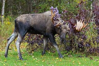 Bull Moose Thrashing A Bush - ISO 8000
