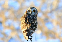 short-eared owl near Lime Springs IA 854A6382 (lreis_naturalist) Tags: shorteared owl lime springs howard county iowa larry reis