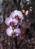 Orchid re-imagined! (Ray Duffill) Tags: orchid lightpainting blended background