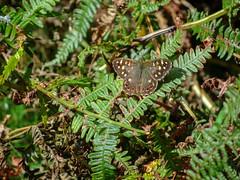 DSC03484a (Dunnock_D) Tags: uk unitedkingdom britain england shropshire green grass butterfly ferns bracken insect wenlockedge
