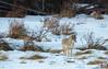 Coyote, Grand Teton National Park. (scepdoll) Tags: grandtetonnationalpark jackson jacksonhole wyoming backlitcoyote coyote snow winter unitedstatesofamerica coyotehunting