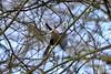 Female Bullfinch (Nikki_Bees) Tags: highbury park birmingham west midlands great british birds femal lady bullfinch bull finch berries eating searching feeding tree gym gymnastics wow wings spread