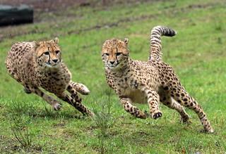 cheetah Burgerszoo BB2A6410