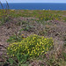Tormentil -  dense patch on regenerating burnt clifftop heath
