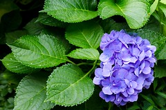 Close up beauty (sal tinoco) Tags: fantasticflower flower flowers nature flora outdoors petal colorful hydrangea