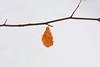 From last year (Xtraphoto) Tags: buche buchenblatt zweig lonely alone last orange leaf blatt
