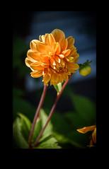 Catching the Light (Jocey K) Tags: newzealand nikond750 southisland christchurch flower dahlia