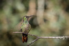 Beija-flor-rubi (Heliodoxa rubricauda) Brazilian Ruby (Eden Fontes) Tags: beijaflorrubi hummingbirds aves clytolaemarubricauda birds brazilianruby itatiaia rj beijaflores parnaitatiaia hoteldoype heliodoxarubricauda