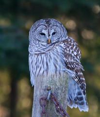Barred Owl (brucegates) Tags: birds brucegates canon7d sudbury ontario barredowl winter canon400mmf56
