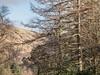 Larch Trees - Benmore Botanic Gardens Feb 2018 (GOR44Photographic@Gmail.com) Tags: larch trees branches winter hills loch eck benmore botanicgardens argyll scotland cowal gor44 panasonic olympus 1240mmf28 gx8