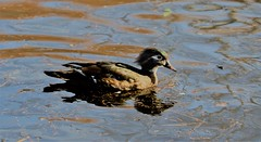 Female wood duck on the water (joybidge) Tags: trishcanada naturepatternscanada victoriabc kingspond ducks duck woodduck