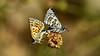 Couple de Pyrgus sidae (KOMSIS) Tags: kelebek butterfly schmetterlinge papillon farfalla mariposa borboleta πεταλούδα فراشة バタフライ 나비 лептир פרפר ქელებეკი پروانه пеперутка तितली လိပ်ပြာ թիթեռ প্রজাপতি бабочка bábochka conbướm dagfjärilar féileacán fiðrildi fjäril fjärilar flutur fluture kəpənək көбелек kupukupu матылёк metulj motyl motýl motýľ motýlů motýlech leptir liblikas päiväperhonen perhonen papallona pillangó vlinder animal arthropoda insect lepidoptera hesperiidae pyrgussidae yellowbandedskipper sarıbandlızıpzıpkelebeği nikond810 sigma150mmos macro macrophotography ngc buzznbugz wow wildlife outdoor nature plant
