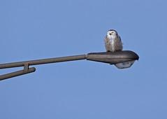 Snowy Owl ♀ - Harfang des neiges ♀ - Bubo scandiacus (D72_8881-1PE-20180213) (Michel Sansfacon) Tags: harfangdesneiges snowyowl buboscandiacus nikoncoolpixp900