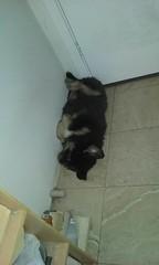 21369097_10213831592690937_8064054446117761001_n (natedetienne) Tags: ash tibetan mastiff puppy tm