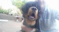 25289322_10214645974409971_7273530710641890148_n (natedetienne) Tags: ash tibetan mastiff puppy tm