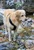 Fishing (Edu Coquer) Tags: paisajes landscapes nature river water wild retriever golden goldenretriever mascotas pets perros dogs