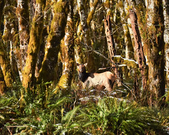 Galadriel (delphinusorca) Tags: elk rooseveltelk quinaultrainforest olympicnationalpark nikon200500f56