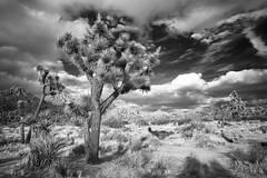 Joshua Tree (www.arayphoto.com) Tags: mojave yucca southwest desert california nationalpark joshuatree