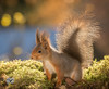 red squirrel with shining upwards tail (Geert Weggen) Tags: animal smelling reaching yellow above autumn closeup lightnaturalphenomenon looking lookingatview mammal nature ontopof photography rodent shiny softness square squirrel standing sunlight sunny sweden plant touch love gentle redsquirrel upwards reach shine fall bispgården jämtland geert weggen ragunda