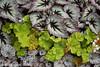 Begonias (A.Maltese) Tags: begonia leaves floral lavender botanical