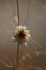 feb23 2018 6 (Delena Jane) Tags: delenajane dfo everlasting flower newfoundland ngc canada closeup driedflower pentaxart