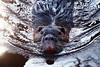 biberratte (bauingenieuse) Tags: nutria biberratte coypu naturschutzgebiet mönchbruch mörfelden hessen rheinmain rat nagetier animal wasser teich see holz nager wasserbewohner 2018 schilf outdoor sumpfbiber myocastor coypus zähne orange schnurrhaare schwimmen ngc canon 80d closeup whiskers beaver rodent lake landschaft natur