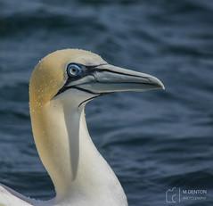 Gannet Close Up (mikedenton19) Tags: gannets morus sea bird seabirds yorkshire eastyorkshire yorkshirecoastnature bempton bemptoncliffs rspb coast steveracephotography wildlife nature