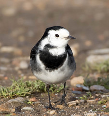 Pied Wagtail (NickWakeling) Tags: piedwagtail wagtail canoneos7dmarkii sigma150600mmf563dgoshsmcontemporary salthouse