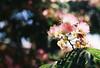 Bokeh Galore (Katie Tarpey) Tags: mimosatree nature tree flowers bokeh depthoffield sun backlit film 35mm summer victoria country countrylife agfa agfavistaplus200 nikonfm10 nikkor50mm14