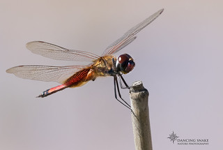 _45A3062 Red Saddlebags Dragonfly ©Dancing Snake Nature Photography