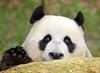 giant panda Ouwehands BB2A1475 (j.a.kok) Tags: panda grotepanda giantpanda bamboebeer bamboobear beer bear china asia azie animal ouwehands mammal zoogdier dier