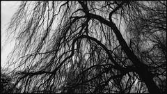weeping willow (FotoTrenz NRW) Tags: willow sadness tree nature blackwhite monochrome contrast bw mood angietrenz trenzfotonrw