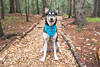 Yellow Leaf Road (rohithpalagiri) Tags: forest dog husky tree pet park wood grass animal acadia