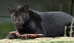jaguar Artis BB2A4421 (j.a.kok) Tags: jaguar jaguarcub jaguarwelp kat cat artis animal zuidamerika southamerica mammal zoogdier dier predator blackjaguar zwartejaguar