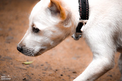puppy (akashunnikrishnan) Tags: puppy love dog pet white nature vintage beauty shades eyes kindness canon photography picoftheday photoday path spot new color landscapephotography dream