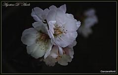 Fiori di mandorlo - Gennaio-2018 - (agostinodascoli) Tags: nikon nikkor cianciana sicilia fiori mandorlo mandorloinfiore agostinodascoli nature texture gennaio inverno