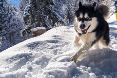 FUN! (Wolfhowl) Tags: 2018 france fun petitbalconsud landscape montblanc cute chamonixmontblanc kawaii mountains young february winter франція alpinemountains clouds montblancmassif snow frenchalps alaskanmalamute chamonix puppy travel denzel dog highfive шамоні valley chamonixvalley europe alps malamute