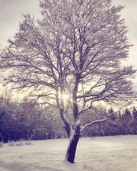 ~ the tree ~  Riddarhyttan, Sweden iPhone 7 (Tankartartid) Tags: magical picsart sol sun solsken snö skog träd snow trees tree vinter winter natur nature norden nordic västmanland riddarhyttan europe sverige sweden instagram ifttt