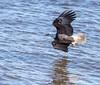 Eagle Shoot - Le Claire, IA - 2018 Feb - bks-2322 (Brian Sprague Photography) Tags: bird cold largebird leclaire mississippiriver transportation water winter eagles baldeagle