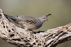 Gambel's Quail (Matt Shellenberg) Tags: gambels quail gambelsquail desert arizona