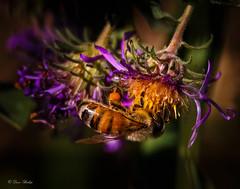 Pocket Full of Pollen (barnmandb65) Tags: bee pollen flower closeup purple