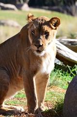 DSC_3550 (Andrew Nakamura) Tags: animal africanlion lion felid mammal lioness bigcat sandiegozoosafaripark safaripark escondido