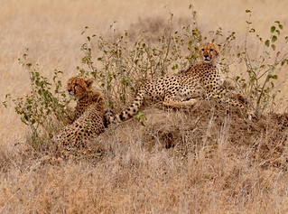 Two young Cheetahs (Acinonyx jubatus), resting on a termite mound after feeding on a kill