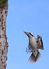 Laughing Kookaburra 031 (DMT@YLOR) Tags: kookaburra laughingkookaburra goodna ipswich queensland australia flight inflight tail tailfeathers feathers termites treetrunk