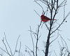 20180210-_DSC5021 (dmiller91) Tags: backyardbirds cardinal hawk whitethroatedsparrow