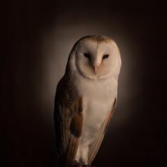 Barn Owl (g3az66) Tags: barnowl owl bird theowlexperiencenet