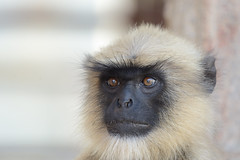Grey langur Monkey Hampi India b4 (JohnMannPhoto) Tags: langur monkey hampi india grey