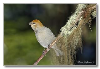1E1A5004-DL   Durbec des sapins (femelle) / Pine Grosbeak (female).
