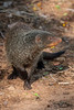 Mongoose (garrellmillhouse) Tags: mongoose marlothpark southafrica